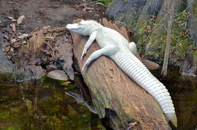 Luna, the Albino Alligator