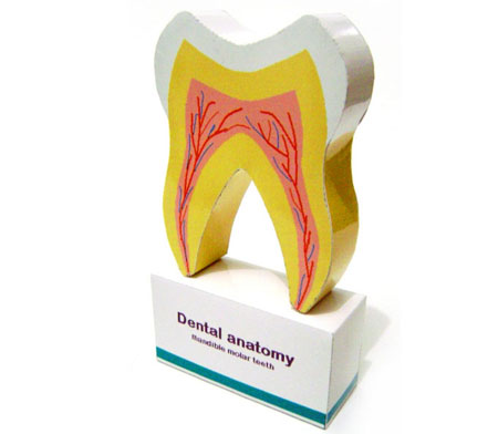 Tooth Anatomy Papercraft