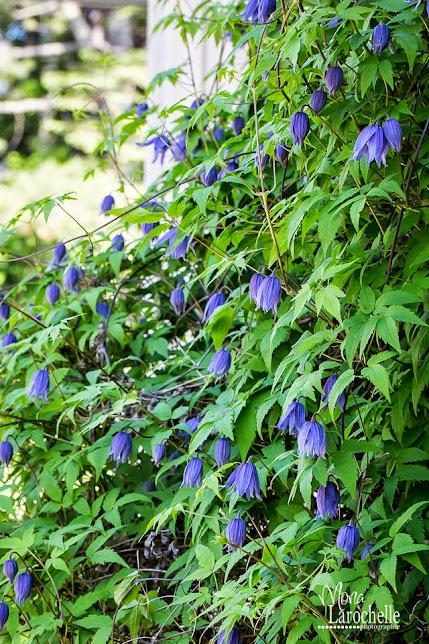 Clematis macropetala Blue Bird Clematis-macropetala-blue-bird-140531-142rm