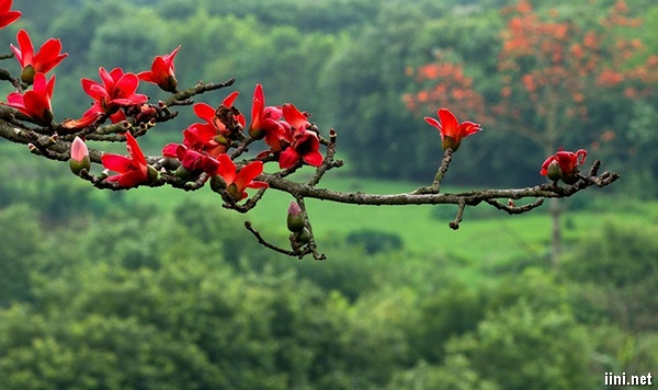 thơ nhớ sắc đỏ Mộc Miên