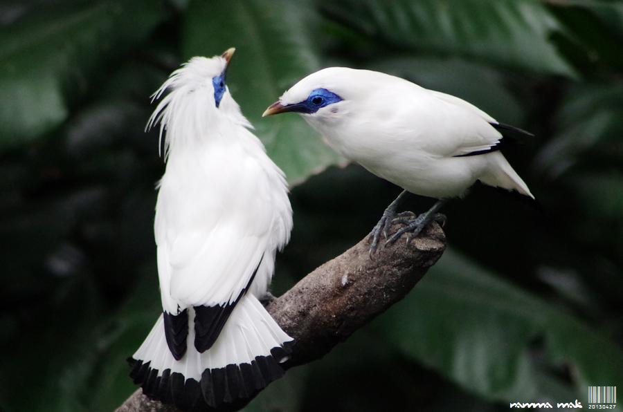 很潔白的羽毛,藍眼睛很特別!