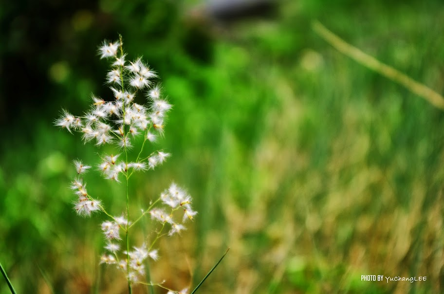 仙人掌花及菅芒花