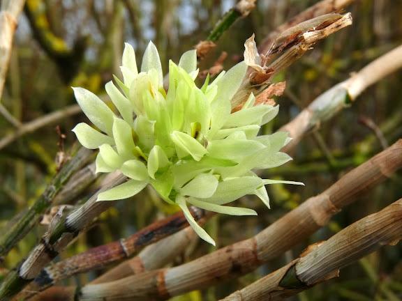 Dendrobium bracteosum album P1360897