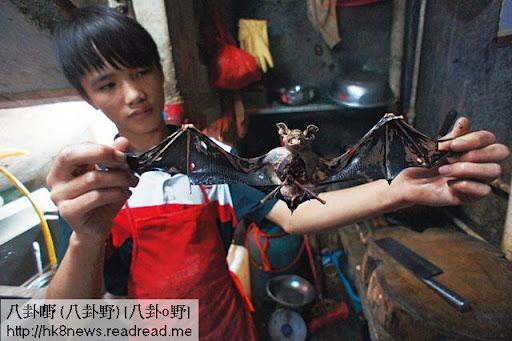 負責蝙蝠宴的廚師年紀輕輕,已有數年經驗,煎炒燜燉焗樣樣「撚手」,他張開剛從岩洞活捉的蝙蝠,解釋吃蝙蝠只吃頭和身,蝠翼要剪去。