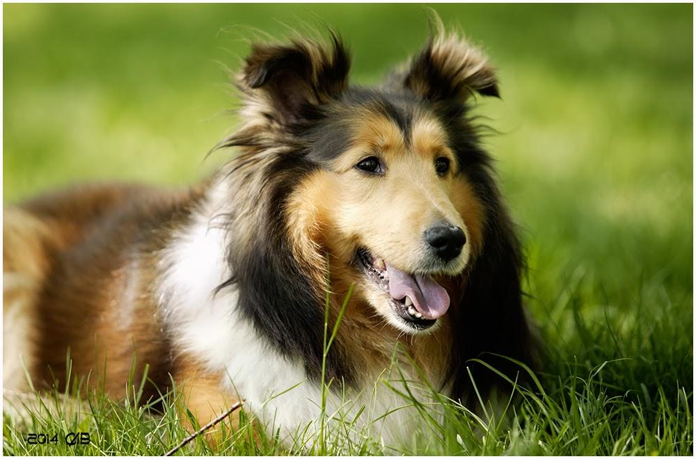 testclod Le colley à poil long, chien berger dorigine écossaise