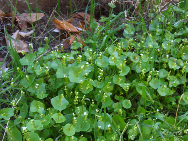 miner's lettuce along the trail