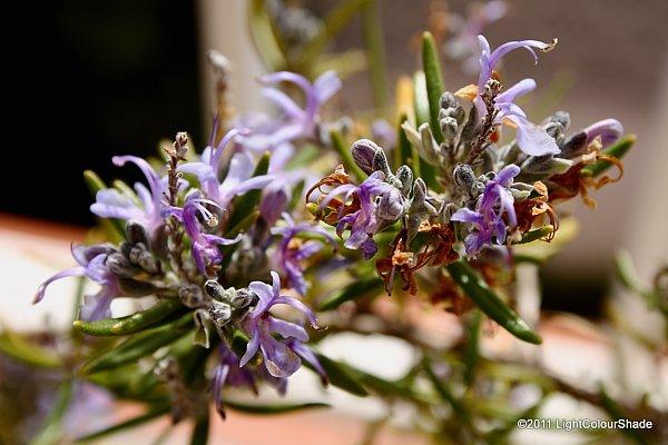 Rosemary blossom
