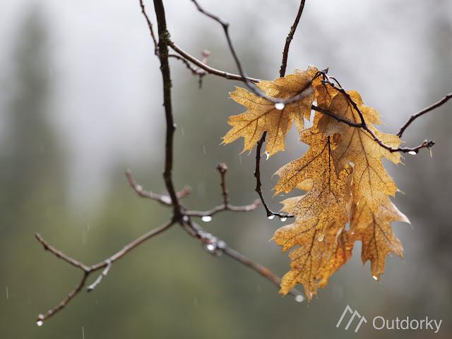 black oak rain