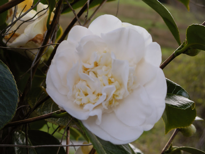 Celebrating womens suffrage with the kate sheppard camellia celebrating womens suffrage with the kate sheppard camellia mightylinksfo