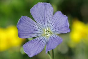 Meadow Flax