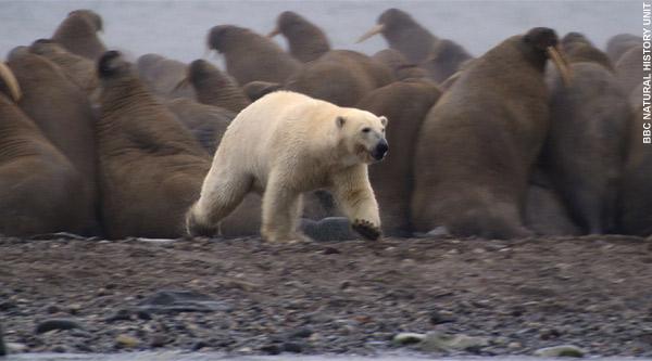 Urso pardo vs Urso polar Smpolar23