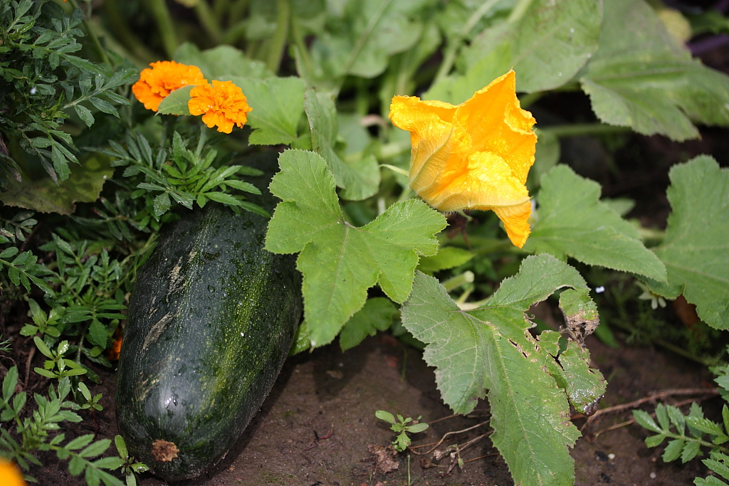 Homestead revival adding flowers to the vegetable garden Flowers to plant in vegetable garden