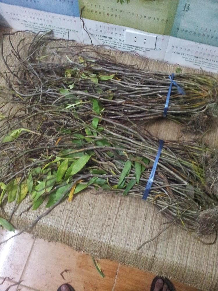 Hoàng thảo hương vani lá mỏng, nhọn, có nhiều chấm tím đỏ trên lá, thân già cũng có màu tía