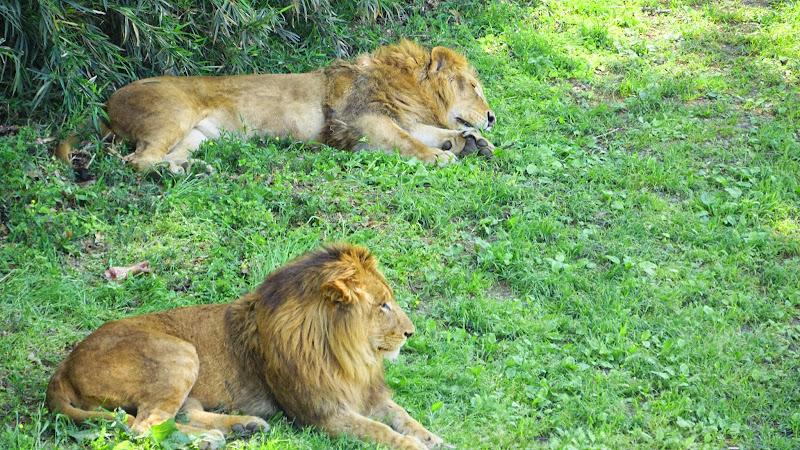 多摩動物公園 ライオン 写真