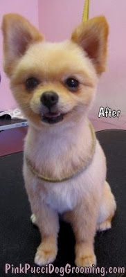 Gri the Pomeranian with a Summer Cut!