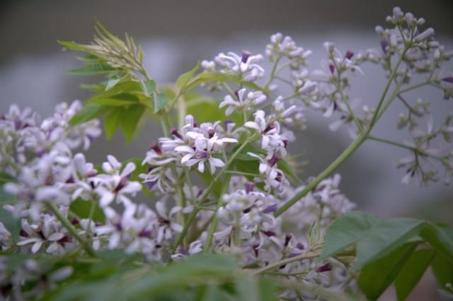 Ảnh hoa xoan đẹp