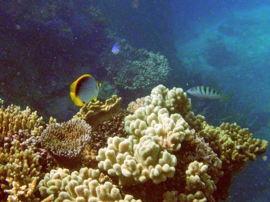 Chaetodon melannotus (Blackback Butterflyfish), Naigani Island, Fiji.