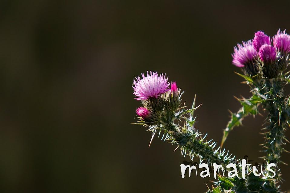 manatus foto blog flor