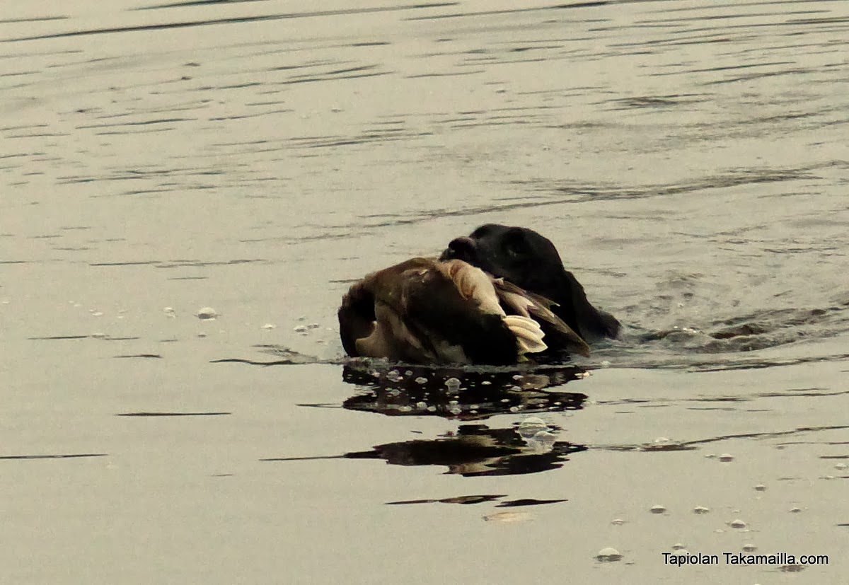 Labradorinnoutaja noutaa sorsan