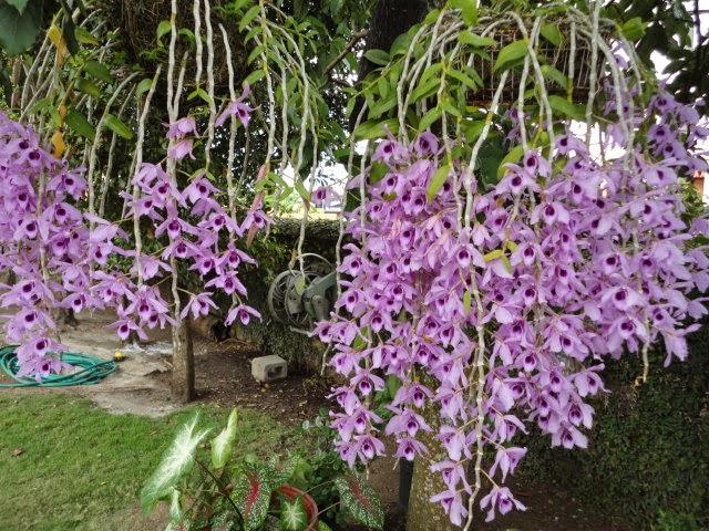 Phi điệp tím là giống phong lan phổ biến nhưng có giá tương đối cao