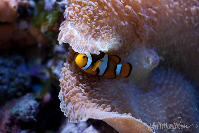True Percula Clownfish in Elephant Ear Mushroom