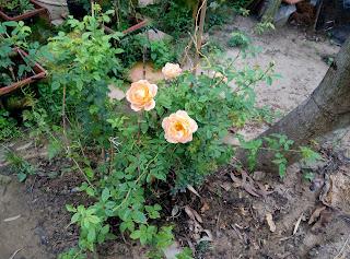 Hồng leo Cẩm My (Lady of shalott) phát triển mạnh trên gốc ghép là hồng Tường Vy Sa Đéc