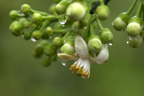 ảnh chùm hoa bưởi sau cơn mưa