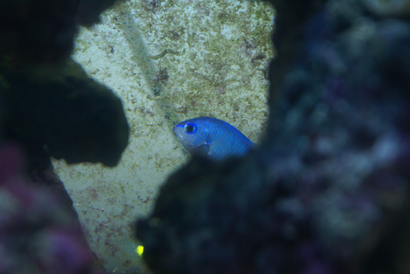 Chromis viridis (Blue/Green Reef Chromis) DSC05185