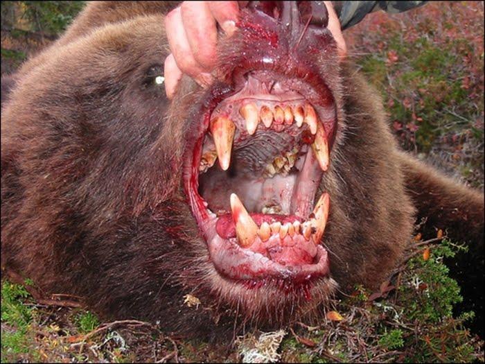 Urso pardo vs Urso polar 3258