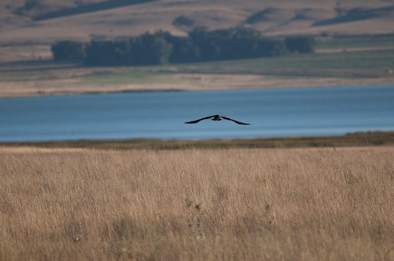Harrier in Montana