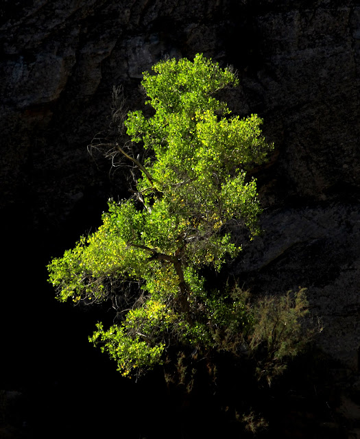 Glowing tree in Spring Canyon