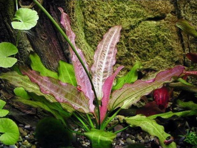 Эхинодорус Восточный (Echinodorus cv. Oriental)