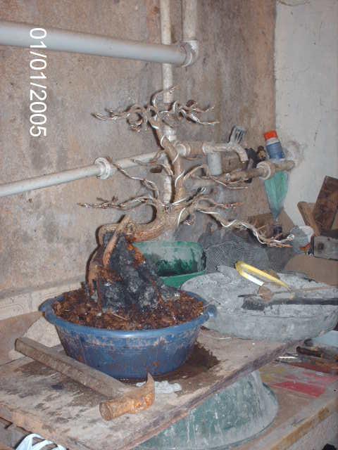 Ficus Nerifolia, Uma raiz de 3 anos... PICT1053