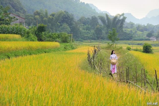 ảnh cô gái áo dài đi trên cánh đồng lúa
