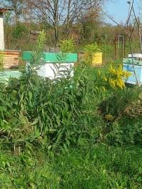 Nawłoć ogrodowa Solidago hybrida