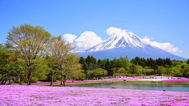 富士芝桜まつり 写真14