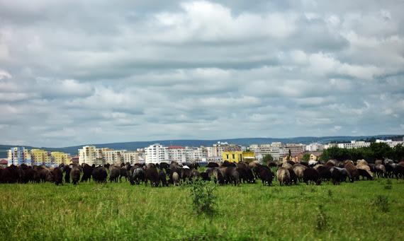 Stână de oi la intrare în municipiul Suceava