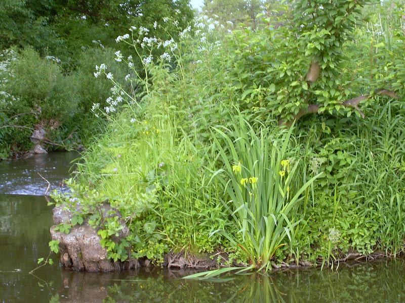 Kosaciec żółty (Iris pseudacorus)