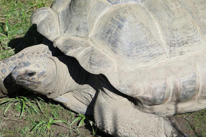 Eine Riesenschildkröte ist unterwegs