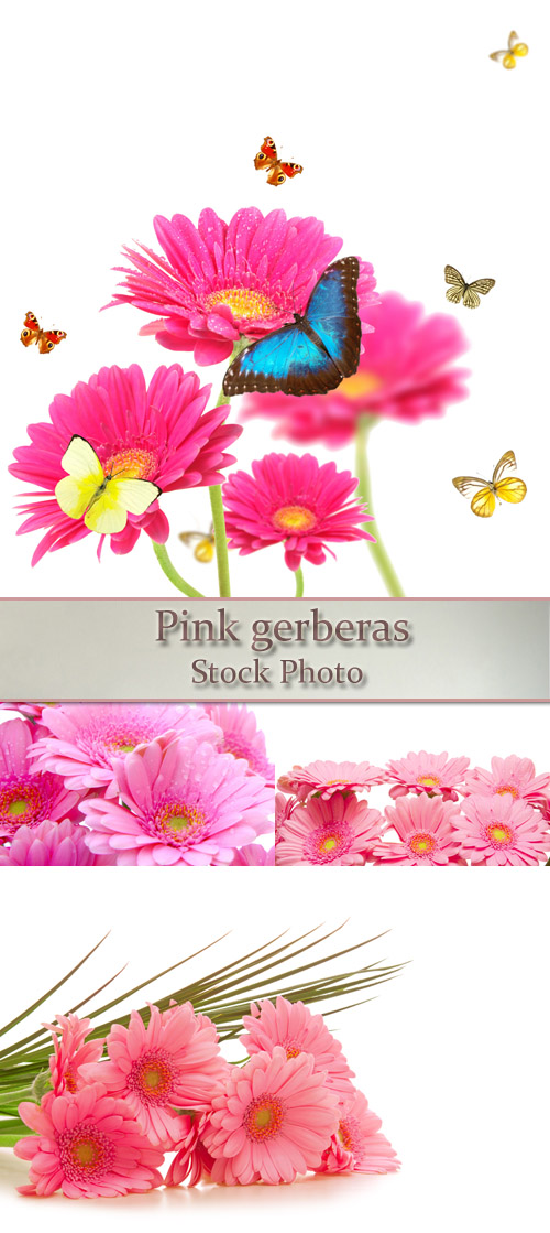 Stock Photo: Pink gerberas 3
