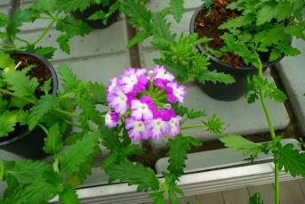 Werbena ogrodowa Verbena hybrida