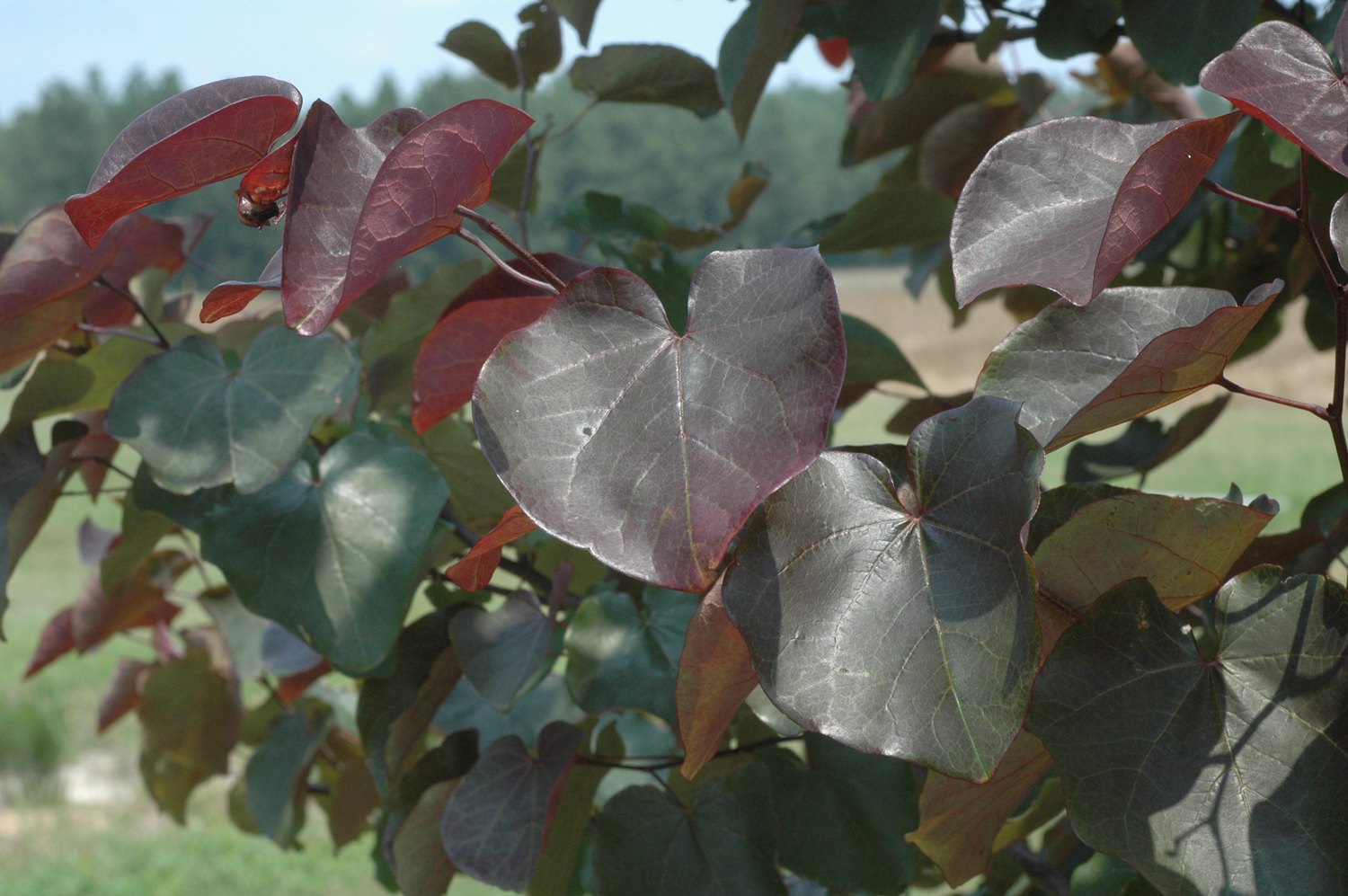 Plant Preview Merlot Redbud Is Drought And Heat Tolerant With