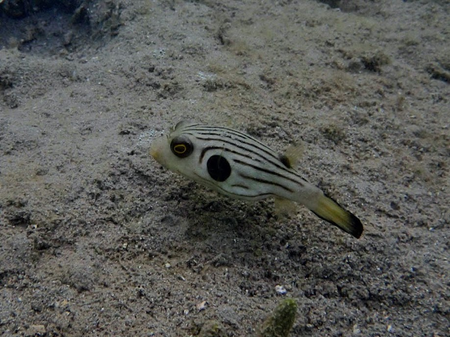 Arothron manilensis (Striped Puffer), Chindonan Island, Palawan, Philippines.