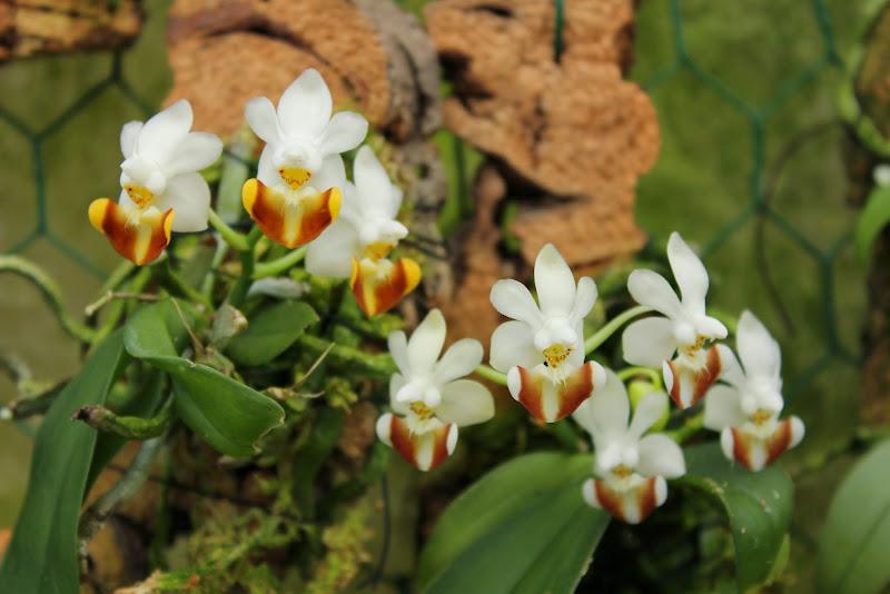 Phalaenopsis lobbii IMG_0410