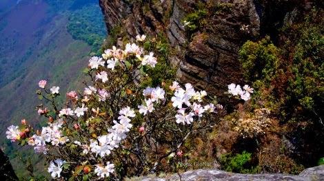 hoa do quyen pha luong pys travel001 Mộc Châu tháng Tư   Hoa đỗ quyên nở rộ Pha Luông