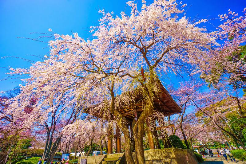増上寺 桜 写真 8