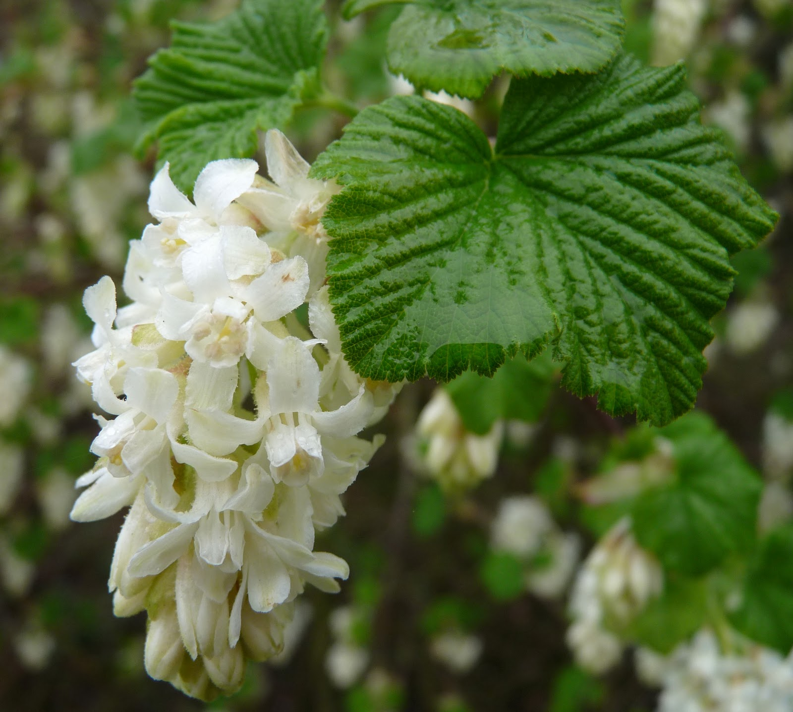 Holkham walled garden ribes sanguineum white icicle march in the holkham walled garden and the prettiest of flowering currants is blooming ribes sanguineum white icicle flowers before the more often seen mightylinksfo