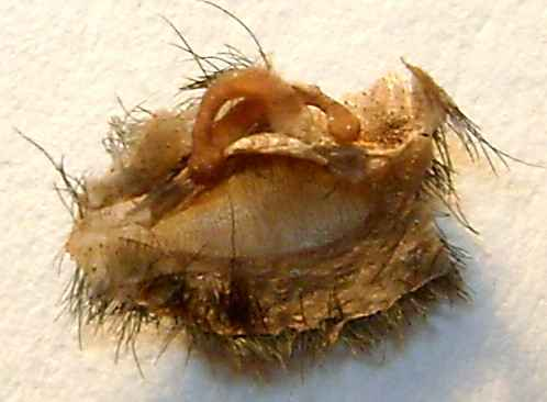 Avicularia geroldi spermatartó