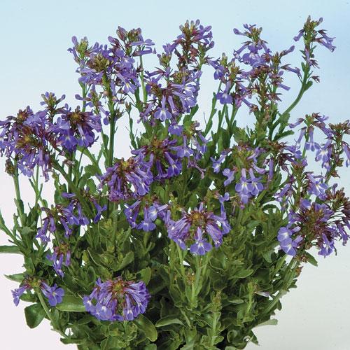 六倍利 台夫特藍瓷Lobelia valida 'Delft Blue' | iGarden花寶愛花園
