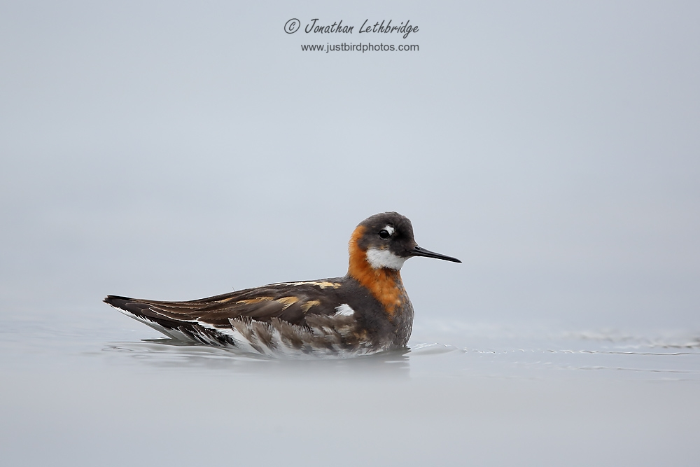 Red Phalarope All About Birds Just Bird Photos | Red-necked